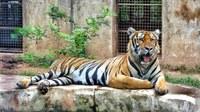 Tiger yawning in zoo